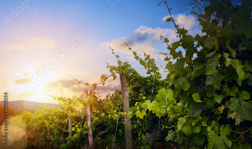 Sunrise over grape Vineyard; summer winery region morning landscape