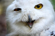 Snowy owl with a funny face expression
