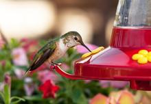 Humming Bird (colibri), Close Up