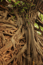 The Roots Of Big Trees