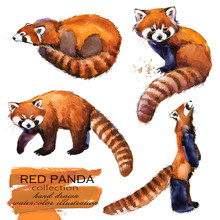 Red Panda Hand Drawn Watercolo...