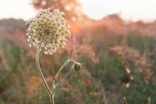 The Hemlock (Conium Maculatum), Poisonous Plant. Healing Plant.A Plant Outdoors.