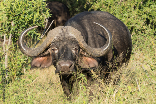 Keuken foto achterwand Buffel Buffalos on Kruger NP, South Africa