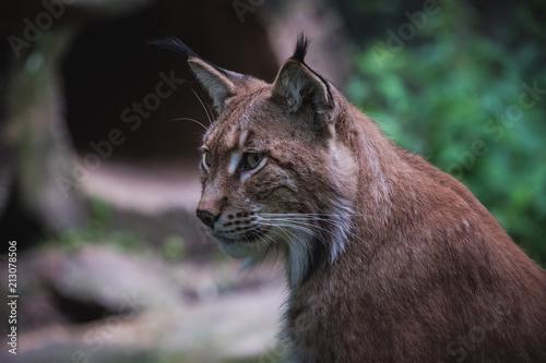 Foto op Canvas Lynx Luchs