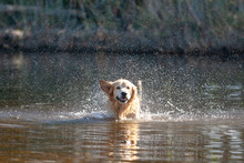 Happy Golden Retriever Swimmin...