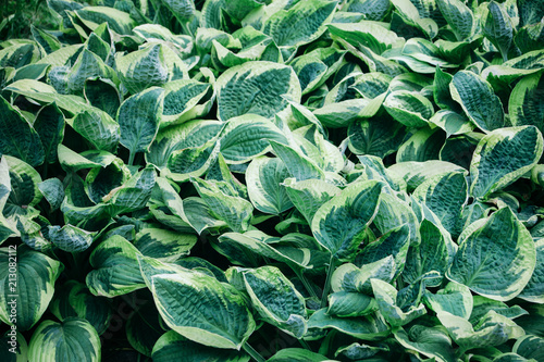 A Thicket Of Hosta Plant With Oval Green Leaves With White Edges