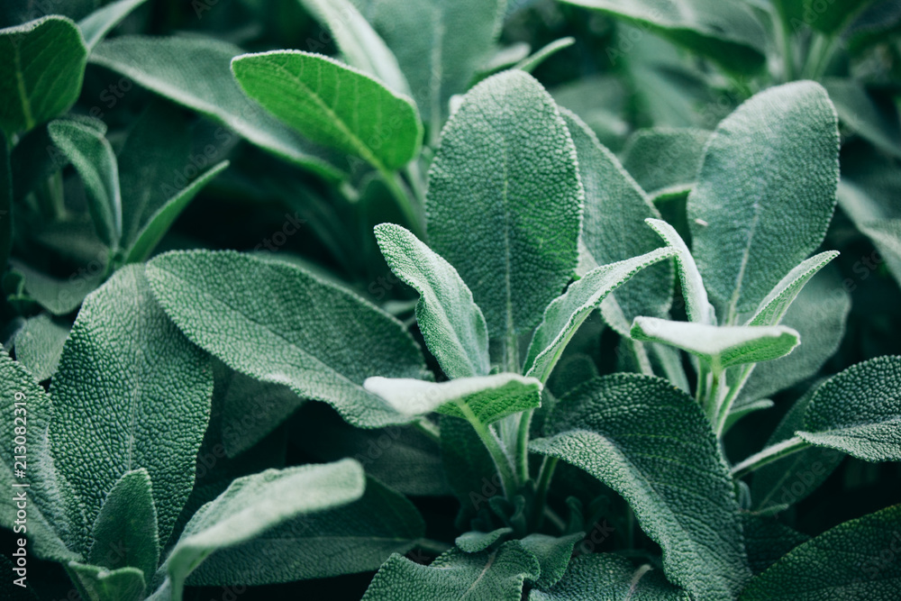 Fototapety, obrazy: Salvia officinalis with velvety leaves, close-up.
