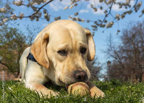 A young yellow labrador retriever dog plays with a baseball trying to chew the t Wallpaper Mural