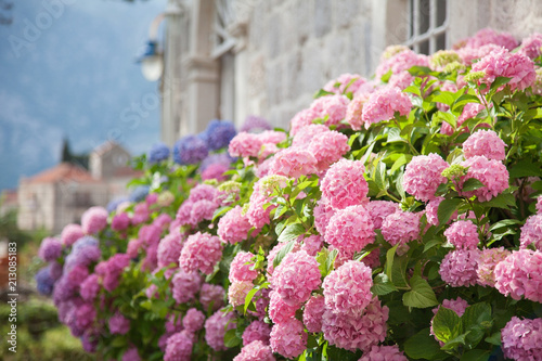 Fototapeta Blooming flowers hydrangea are pink, blue, lilac, violet, purple in spring and summer at sunset in town garden