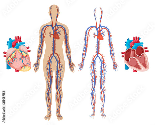 Human Heart and Cardiovascular System