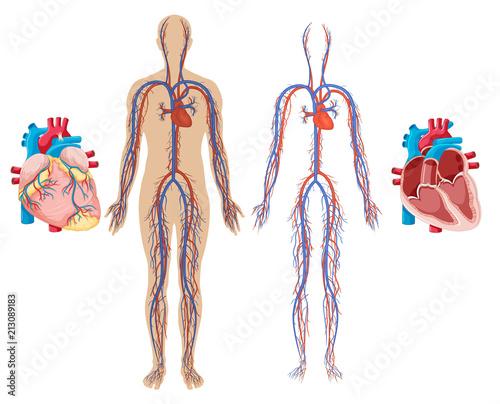 Fotobehang Kids Human Heart and Cardiovascular System