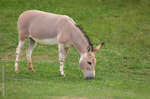 The Somali wild ass (Equus africanus somaliensis) grazing on a green meadow.