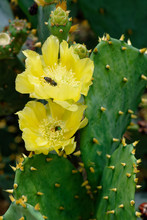 Yellow Blooms Of Prickly Pear Cactus