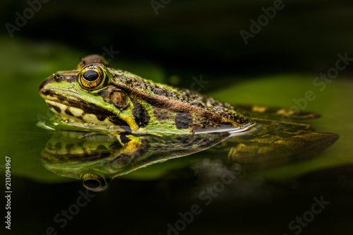Tuinposter Kikker Green frog in a pond. Beautiful amphibian. Lake, leaves, fresh green colors. Natural shot. Wildlife.