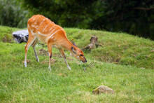 The Sitatunga Or Marshbuck (Tragelaphus Spekii), Grazing Female On Green Grass.