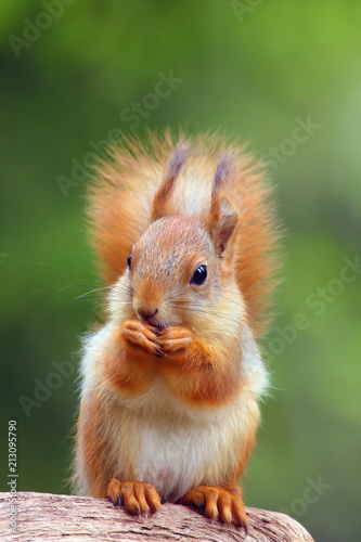 Fotografía  The red squirrel or Eurasian red sguirrel (Sciurus vulgaris) sitting in the scandinavian forest