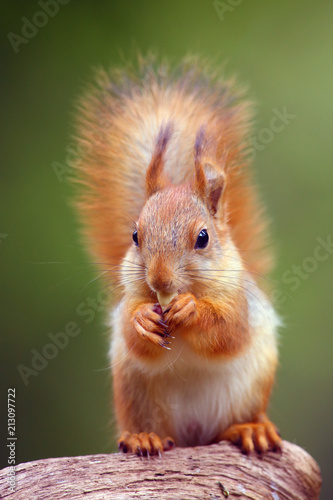 Foto op Canvas Eekhoorn The red squirrel or Eurasian red sguirrel (Sciurus vulgaris) sitting in the scandinavian forest. Squirrel in a typical environment. Sqirrrel with nut.