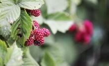 Blackberry Fruit In Garden. Blackberries Isolated. Berries Close Up