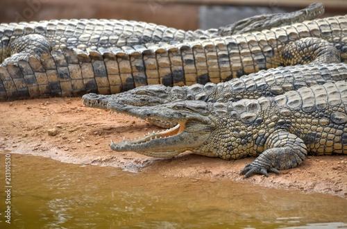 Foto op Plexiglas Krokodil Nil crocodile