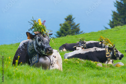 cows in european alps with huge bell - bavaria