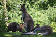 Red-necked Wallaby Family