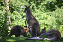 Red-necked Wallaby, Mother Feeding Its Baby