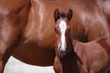 Brown Filly Foal Show