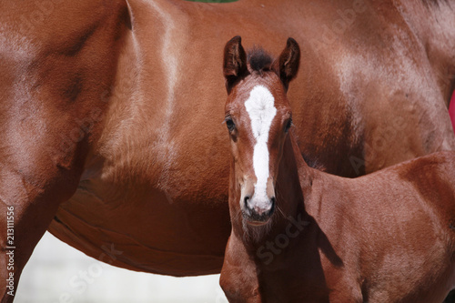 Valokuvatapetti brown filly foal show