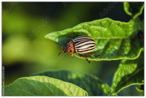 Colorado potato beetle Fototapeta