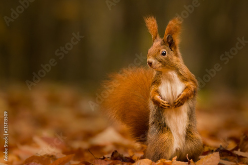 Spoed Foto op Canvas Eekhoorn Cute squirrel in autumn colored forest. Beautiful, fast and clever animal.