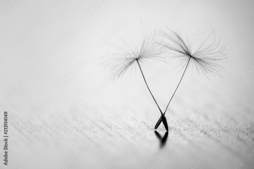 Fototapety, obrazy: Detailed shot of blow away dandelion seed. Amazing natural creation. Black and white. Monochrome. Close up.