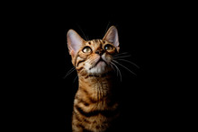Bengal Cat On A Black Background