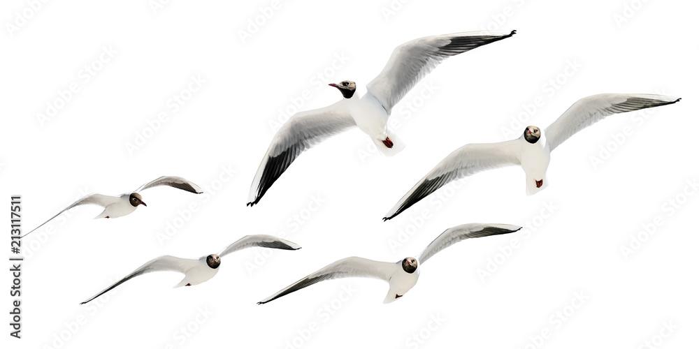 Lachmöwen im Flug - freigestellt