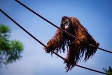 Large Male Orangutan Climbing ...