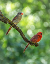 Male And Female Cardinal Pair