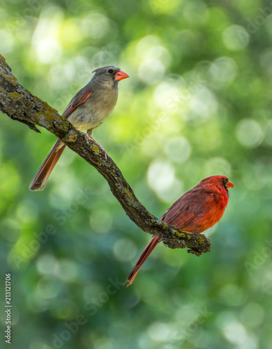 Photo  Male and Female Cardinal Pair