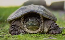 Snapping Turtle Sitting Comfor...