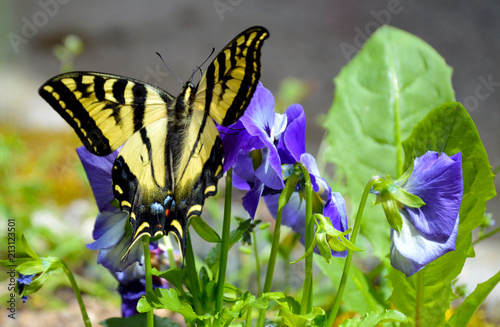Yellow Swallowtail Butterfly Lands on a Patch of Pansies, Olympic Peninsula, Washington, USA