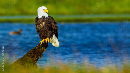 In de dag Eagle Bald Eagle (Haliaeetus leucocephalus) in British Columbia, Canada