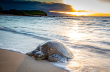 Turtle Coming Up On The Beach ...