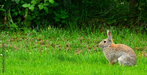 Zdjęcie XXL Brown Cottontail RabbitIn Sylwetka na zielonej trawie, Sequim, Półwysep Olimpijski, Waszyngton, USA