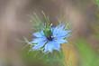 canvas print picture - Nigelle bleu Macro