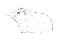 Hand Drawing Guinea Pig Or Cav...