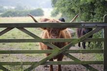 Angus Behind Gate