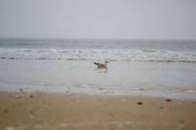 A Seagull On The Beach In Fran...