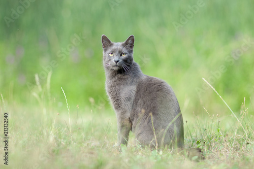 cute adult grey cat with beautiful green eyes sitting in a green meadow, outdoor Tablou Canvas