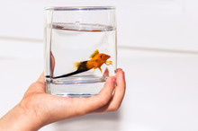 Fish In The Water In A Glass