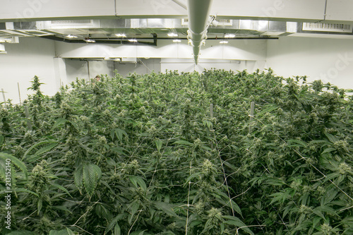 Valokuva  Indoor Cannabis Marijuana Grow Room California