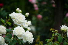 Beautiful White Roses On A Rainy Day   雨の日の美しく白いバラ