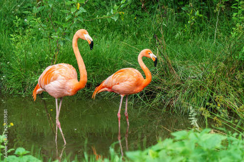 Foto op Canvas Flamingo Greater Flamingo beautiful pink big bird in water in the nature habitat.
